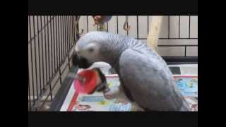 Amazing parrot opening her food toys (captive foraging)