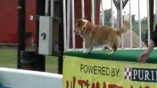 Pembroke Corgi Dock Diving - Air Dogs!