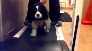 Cavalier King Charles Spaniel - Aquatic Therapy For Dogs