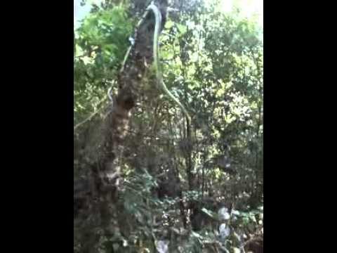 biggest snake in West Khasi Hills (vill) Lawbyrtun