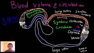 Blood circulation, blood volume, arteries, arterioles, capillaries, venules and veins