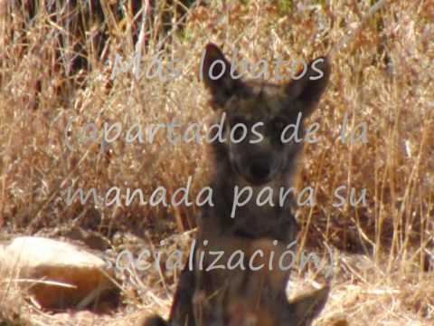 lobos-en-lobo-park