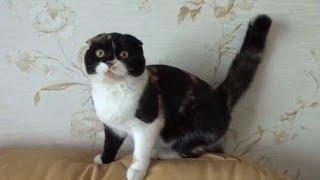 Шотландская кошечка (5 месяцев) АНТАБОЛ Аурика