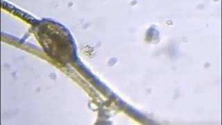 Un Zébulon dans mon bassin.avi