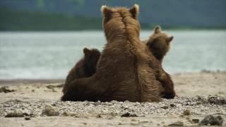 «Медведи Камчатки. Начало жизни». Тизер