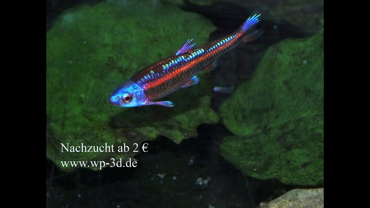 Notropis chrosomus mosquito fressender schwarmfisch f r for Aquarium fische im teich