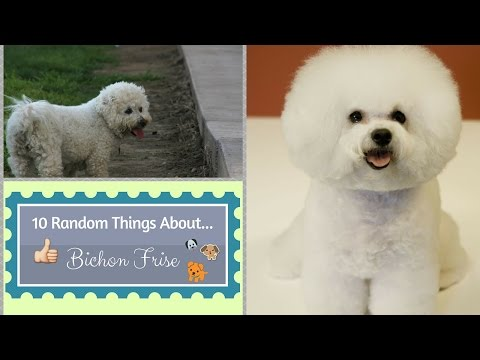 10 Random Things About...Bichon Frises
