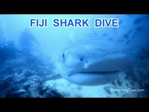 Fiji Diving: Bull Sharks and Tiger Sharks