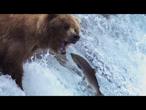 grizzly-bears-catching-salmon-|-nature's-great-events-|-bbc