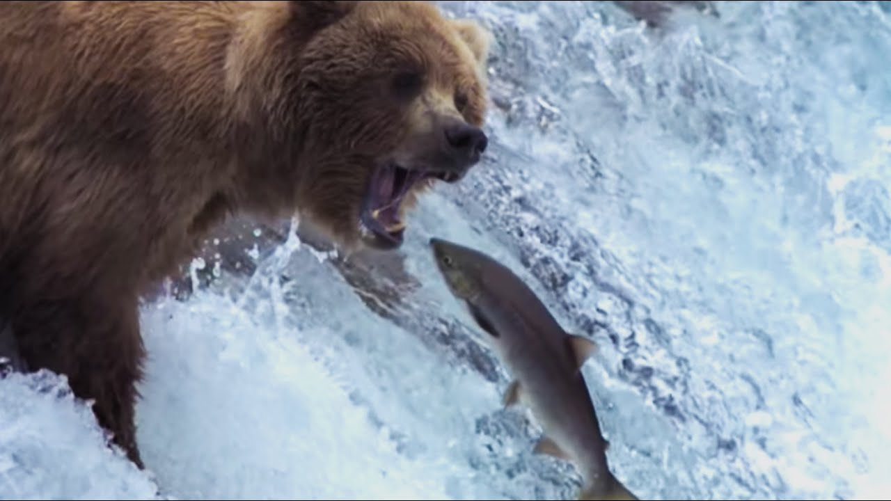 Grizzly Bears Catching Salmon | Nature's Great Events | BBC