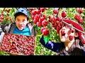 Picking Cherries | Best Cherry Farm in Mosier, Oregon!!!