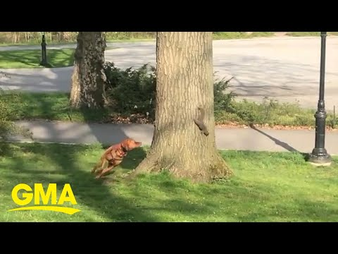 A squirrel outwitted this dog in a hilarious New York City park standoff l GMA Digital