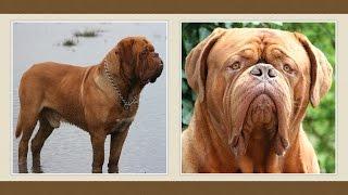Bordeaux-i Dog Kutya [fajtabemutató]