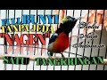 Kolibri Ninja Gacor Nagen Satu Tangkringan  Mp3 - Mp4 Download