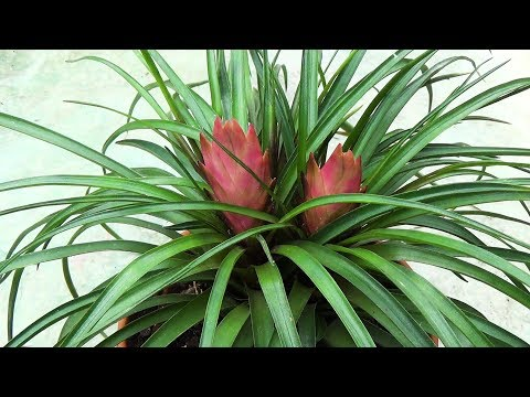 how to propagate yucca from cuttings rooting process doovi. Black Bedroom Furniture Sets. Home Design Ideas