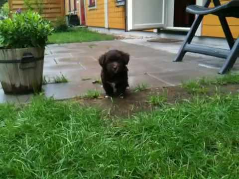 bichon-havanais-(havanese)-puppie-7-weeks