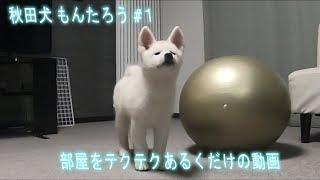 H30年10月14日撮影 秋田犬もんたろうの記録です。 生後約3か月のもんた...