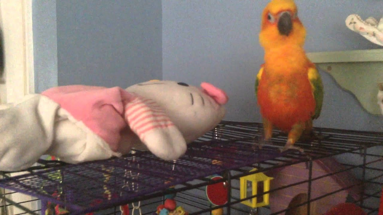 Voltaire The Sun Conure Does Not Like Hello Kitty Youtube