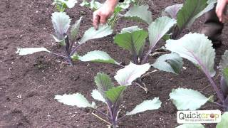 Grow Your Own Cabbage With Quickcrop