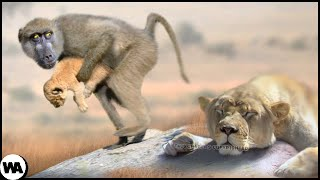 Why Do Baboons Steal Lion Cubs?