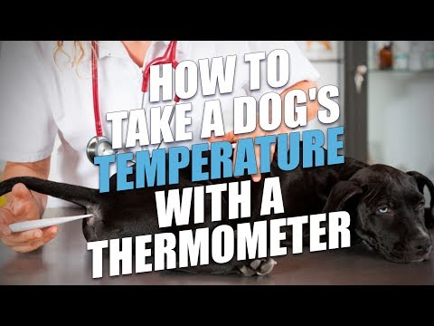 How to Take a Dog's Temperature with a Thermometer (Simple Method)