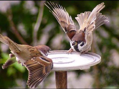 Suara Burung Gereja Tarung Panjang Sangat Cocok Untuk Masteran