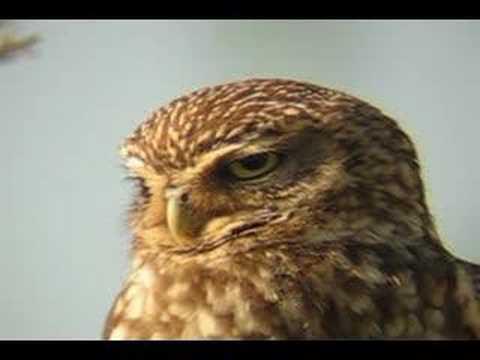 MOCHUELO EUROPEO / LITTLE OWL