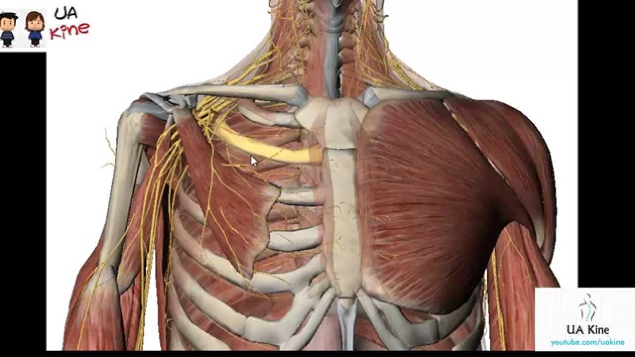 Encantador Diagrama De Músculo Abdominal Foto - Anatomía de Las ...