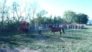 rassemblement d'un troupeau de limousines à cheval