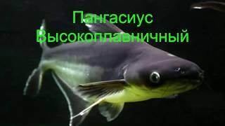 Акулий сом пангасиус фото, содержание в аквариуме