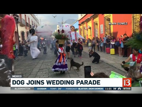 Carmine - Stray Dog Steals The Show During Wedding Parade In Mexico