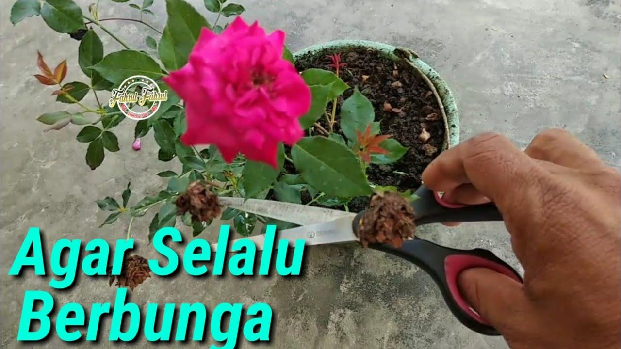 Cara Merawat Bunga Mawar Agar Selalu Berbunga Youtube