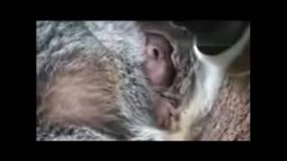 出産後間もないコアラの赤ちゃんが腹から出てきた!|Koala Baby https:...