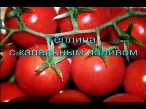 Капельный полив томатов и огурцов в теплице