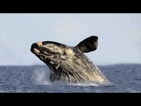 Вопрос: Гренландский кит, в чем его особенность, чем отличается от других китов?