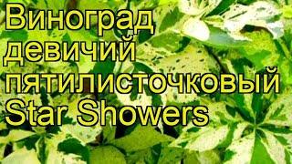 Виноград девичий пятилисточковый Стар Шауэрс. Краткий обзор parthenocissus quinquefolia Star Showers