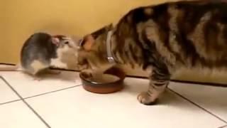 Прикольные кошки Кот отнимает еду из миски у  мышки Забавно смотреть!!
