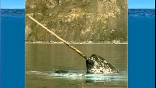 Нарвал - чудо арктических морей