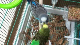 Parakeets mating, budgies mating, birds mating