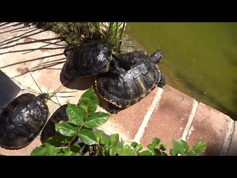 Soltando las tortugas al estanque después de invierno