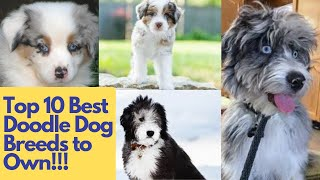 Top 10 Best Doodle Dog Breeds to Own
