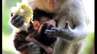 Feeding Moy and Pee's Mother for getting milk's Twin baby Monkeys