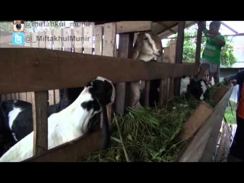 BETERNAK KAMBING PERANAKAN ETAWA @TVRI Kalimantan Timur