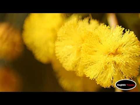 Çiçeklerin Anlamları MİMOZA