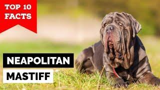Neapolitan Mastiff  Top 10 Facts