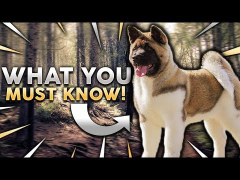 AKITA 101! Everything You Need To Know About Owning A Akita Puppy