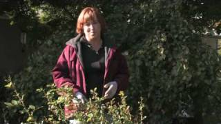 Gardening Tips : How to Feed Roses