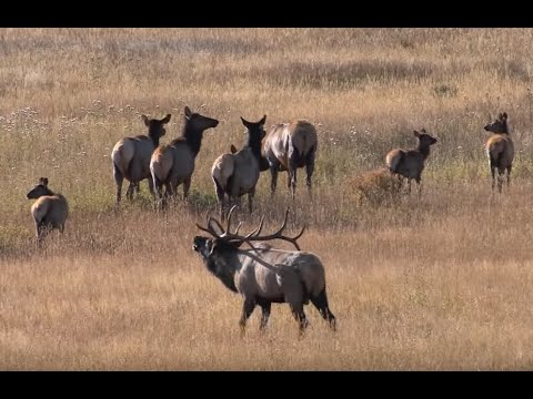 ELK BUGLING IN ROCKY MOUNTAIN NATIONAL PARK HD