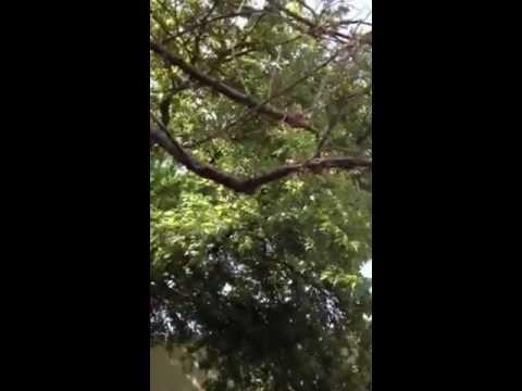 Morus (plant) Mulberry Tree Care - Remove dead limbs