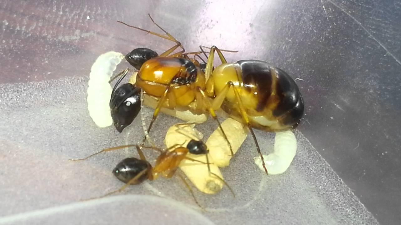 Ant Queen Camponotus Consobrinus Sugar Ant - Ant Shop
